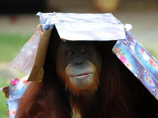 Os macacos se divertiram com as frutas e os panetones que ganharam de presente (Foto: Alexandre Durão / G1)