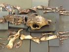 Pesquisador quer expor réplica de fóssil de tatu gigante achado na BA