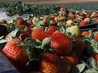 Aumento de preço compensa queda na produção de morango em SP