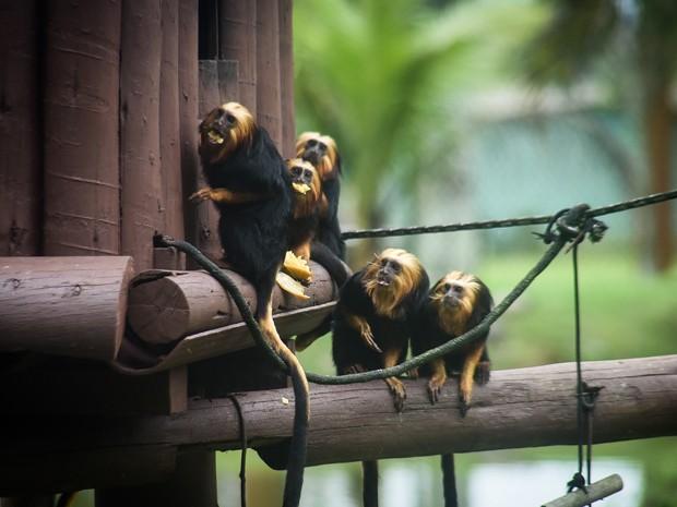G1 Micos Leões Dourados São A Nova Atração Do Zoológico De São