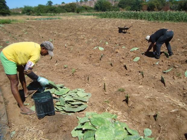 Palma é plantada por agricultores para aumentar a renda familiar (Foto: IPA Petrolina/Divulgação)