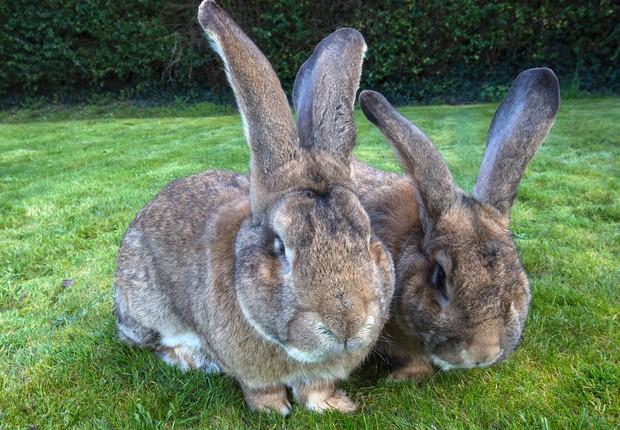 Anette Edwards cria coelhos gigantes (Foto: Reprodução/Facebook/Anette Edwards )