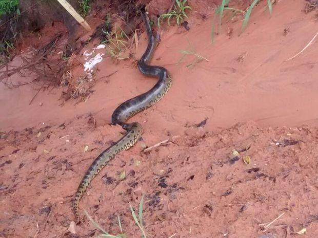 Sucuri foi solta em reserva ambiental (Foto: Divulgação / Polícia Ambiental)