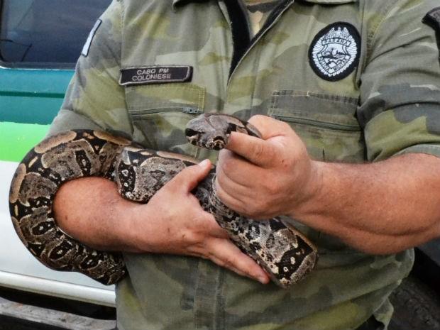 Cobra foi resgatada após percorrer quase 2 mil quilômetros no chassi de um caminhão (Foto: Polícia Ambiental/Divulgação)