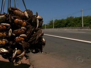Período de defeso do caranguejo-uçá começa em Alagoas (Foto: Reprodução/TV Gazeta)