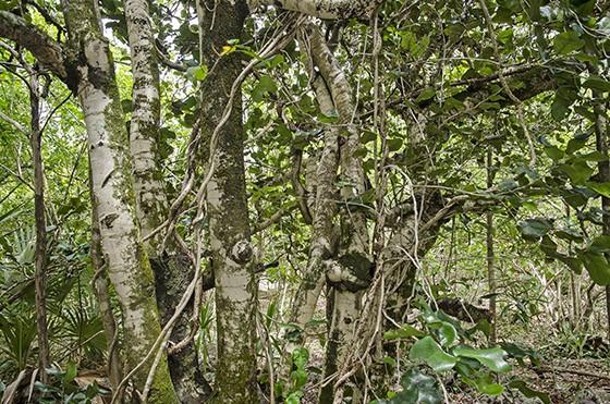 O ébano-da-ilha-das-garças (Diospyros egrettarum) voltou ao ecossistema nativo da Ilha das Garças  (Foto: © Haroldo Castro/ÉPOCA)