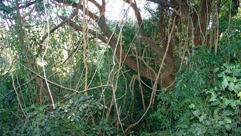 cipó-árvore-gr-responde (Foto: Jose Reynaldo da Fonseca/Creative Commons)