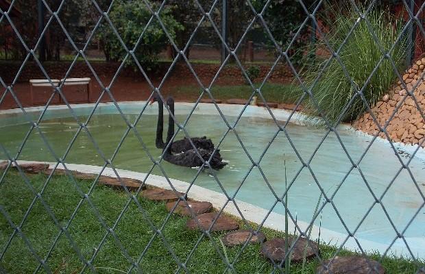 Cisnes são os novos animais do Zoológico de Goiânia (Foto: Gustavo Miranda/Divulgação)