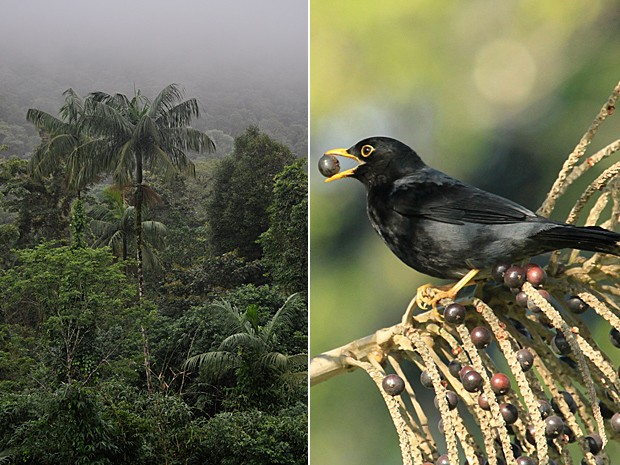Sementes de palmeiras são dispersadas principalmente por pássaros; ao lado, sabiá-una ('Turdus flavipes') come semente de palmeira (Foto: Images courtesy of Lindolfo Souto and Mauro Galetti/Science)