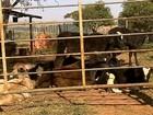 Pecuaristas reclamam de prejuízo com gado por causa de moscas