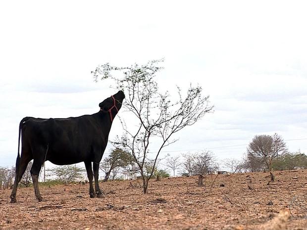 Animais tentam se alimentar com a vegetação seca que ainda resta (Foto: Zé Mário Braga)