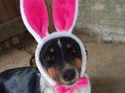Em clima de Páscoa, canil 'fantasia' cães de coelho para adoção no RS