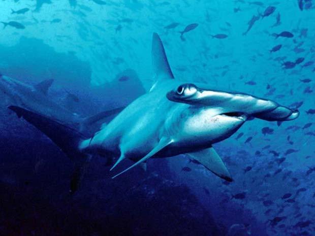 Imagem de tubarão-martelo comum, o Sphyrna lewini (Foto: Barry Peters/ Wikimedia Commons)