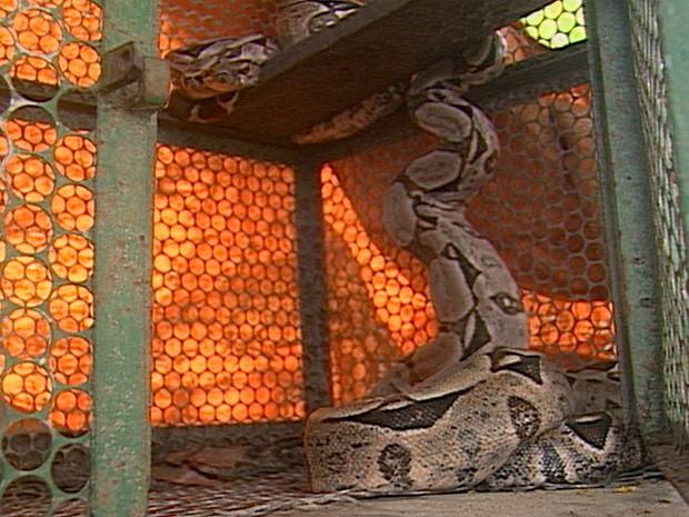 Uma cobra de cerca de dois metros foi capturada neste sábado (9) pelos Bombeiros na Zona Rural de Queimadas, no Agreste paraibano. O réptil estava no Sítio Capim de Planta deixando os moradores assustados (Foto: Reprodução/TV Paraíba)