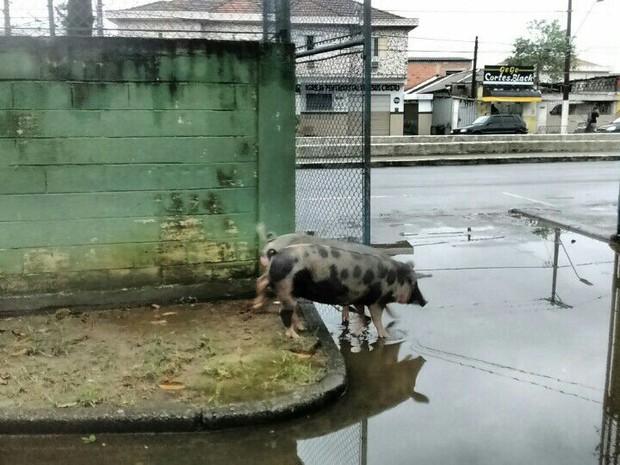 Porcos e água parada na porta da unidade (Foto: Ana Luiza da Costa/Arquivo Pessoal)