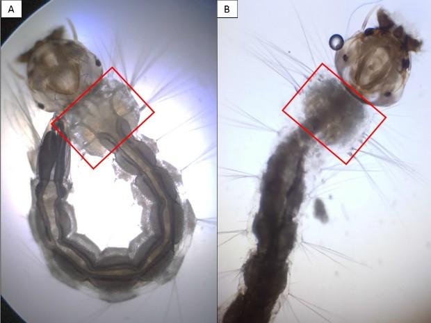 Fotos mostram larvas antes e depois da aplicação do detergente (Foto: Divulgação/USP')
