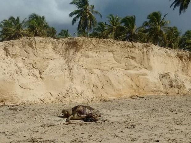 Só em Sergipe foram 56 tartarugas mortas em oito dias (Foto: Projeto Tamar)
