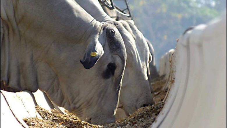 boi-pecuaria-cocho-confinamento-alimentacao-zootecnia (Foto: Giovane Rocha/Rally da Pecuária)