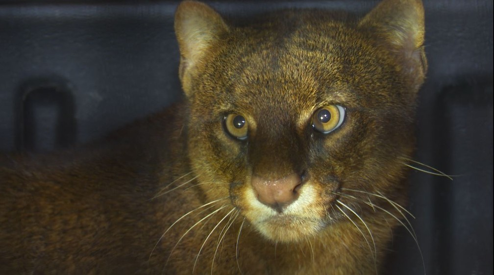 Felino foi levado e solto na reserva extrativista (Foto: Rede Amazônica/Reprodução)