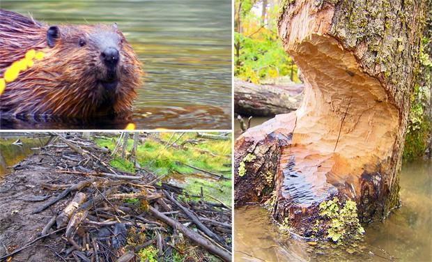 Na América do Norte, região de origem do castor, o animal é um arquiteto da natureza. Introduzido no Sul, para produção de pele, derruba florestas e muda o curso de rios (Foto: Arquivo TG)