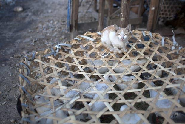 Gato foi colocado para 'vigiar' um cesto com pombos no Haiti. (Foto: Dieu Nalio Chery/AP)