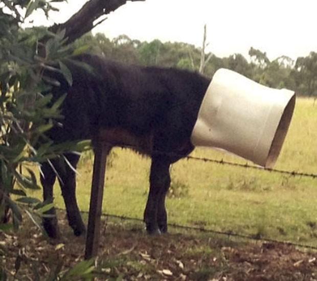 Bezerro precisou ser resgatado depois que foi encontrado com a cabeça entalada em uma privada (Foto: Divulgação/RSPCA NSW)