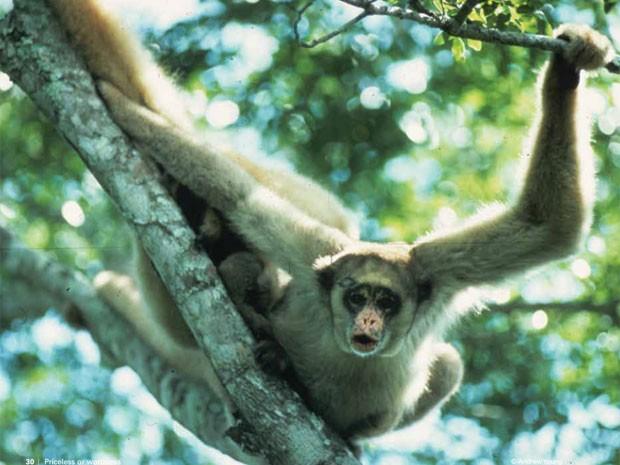 Imagem do muriqui-do-norte, primata que foi incluído na lista dos animais com risco de desaparecer. (Foto: Divulgação/)