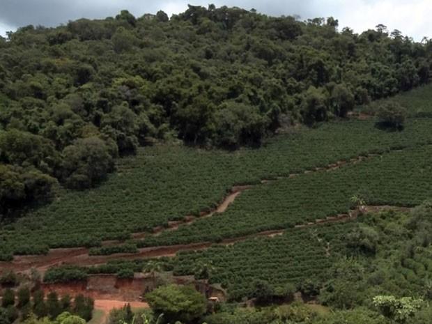Segredo de qualidade de café está nos 1,3 mil metros de altitude onde lavoura é cultivada (Foto: Reprodução EPTV)