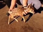 Bombeiros resgatam filhote de veado ferido em canavial de Andradina