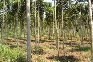Área de reflorestamento em Rurópolis, sudoeste do Pará (Foto: Divulgação / Ebata)