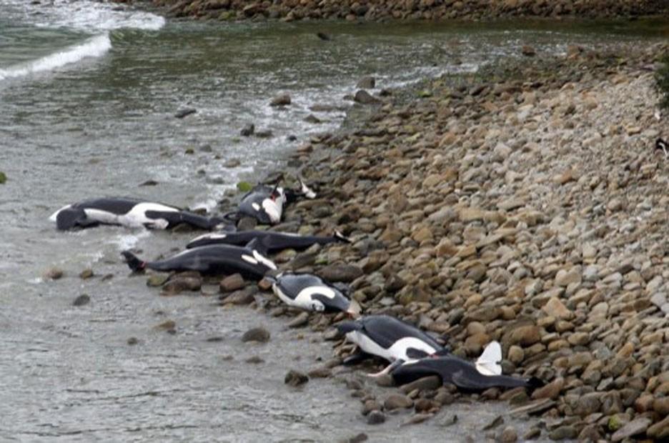 Segundo o governo neozelandês, a morte do grupo causa um impacto na população de orcas da Nova Zelândia, estimada em 200 exemplares (Fot Departamento de Conservação/AFP)