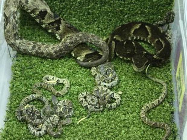 Filhotes de cobra jararaca nascem em fundação de pesquisa, em BH (Fot Talles Cabral / Funed)