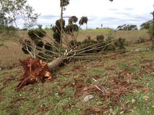 Vento arrancou pinheiro pela raiz (Foto: Eduardo Cristofoli/RBS TV)
