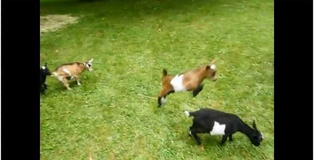 vídeo que mostra a cabra hiperativa faz sucesso na internet (Foto: Reprodução)