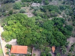 Cajueiro no Piauí quer o título de o maior do mundo (Foto: Reprodução/TV Clube)