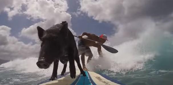 Kamapua, o porco surfista (Foto: Reprodução)