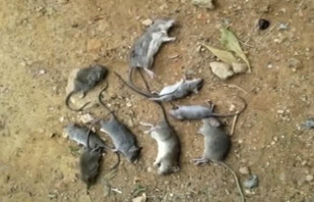 Dona de casa contou que mata até 12 ratos por dia em casa em Catalão Goiás (Foto: Reprodução/TV Anhanguera)