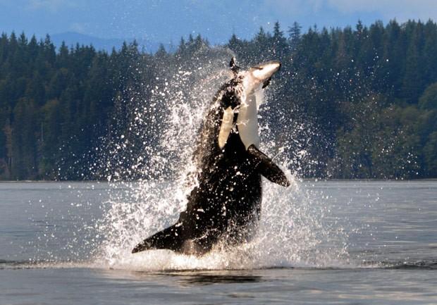 Fotógrafa flagrou orca saltando fora da água e capturando toninha (Foto: Nina Bowling/Caters News/Grosby Group)