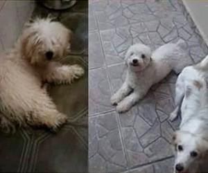 Pitoco - Cães Desaparecidos - Caminhada do Amicão - 2015 (Foto: Divulgação)