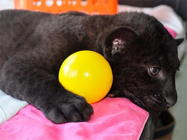Filhote de onça-preta no Zoológico de Salvador (Foto: Divulgação/Inema)