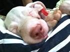 Morre filhote de pitbull resgatada com sinais de maus-tratos em Manaus