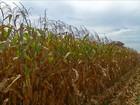 Agricultores começam a colheita  do milho antes da hora em MT