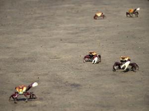 Caranguejos foram encontrados fora de seu habitat natural (Fot Renata de Brito / Prefeitura de Bertioga)
