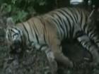 Tigre que comeu sete pessoas é morto no oeste da Índia