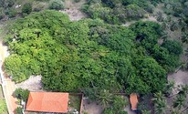 Pesquisadores comprovam que o maior cajueiro do mundo é do Piauí (Reprodução/TV Clube)