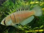 Pesquisadores descobrem nova espécie de peixe no RS