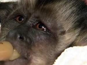 Filhote de lobo-guará, espécie em extinção, foi encontrado em canavial queimado (Foto: Reprodução/TV TEM)