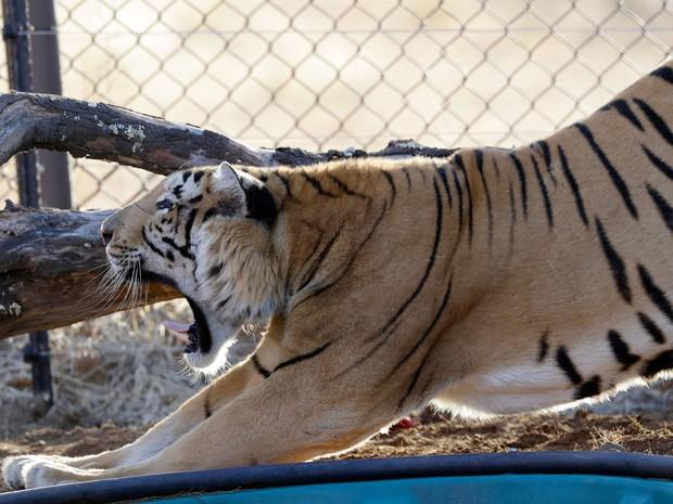 O tigre Laziz se espreguiça após ser liberado em seu novo recinto no Lionsrock Big Cat Sanctuary, em Bethlehem, na África do Sul, na quinta (25) (Foto: AP Photo/Themba Hadebe)