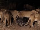 Porco-espinho ganha disputa com grupo de leões; veja vídeo