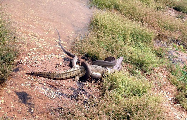 Píton de mais de 3 metros venceu a batalha contra o crocodilo (Foto: Travis Corlis/AFP)